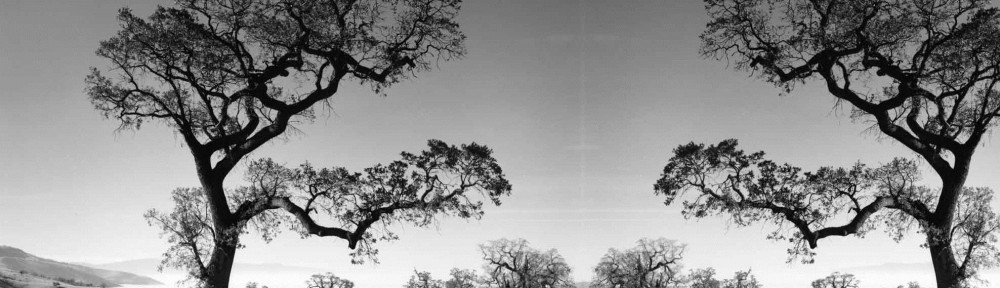 old oak tree3
